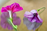Petunias and reflections