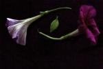 Petunias and leaf