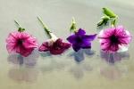 Petunia row reflections