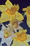 Crumpled daffodils contre-jour 2
