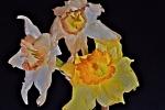 Crumpled daffodils 2